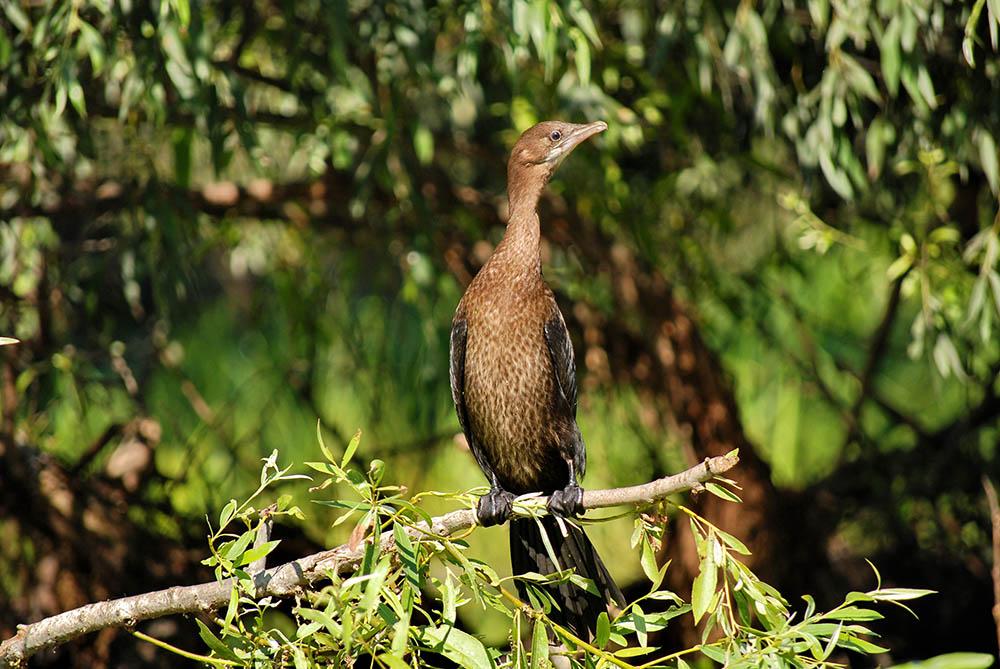025.3. enacrachi george iulian. cormoranul mic – phalacrocorax pygmeus (delta dunarii)