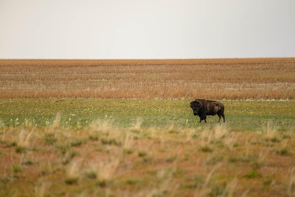 039.3. istrate stefan. păscând singuratic (antelope island state park, sua)