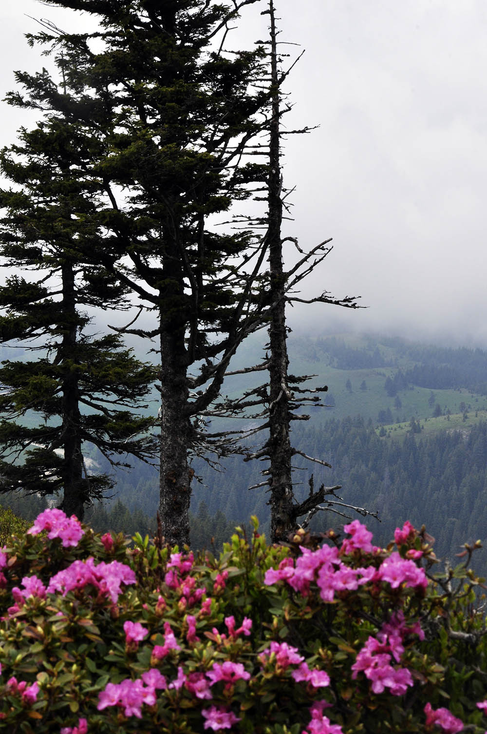066.3. Vasile Andreea Nicoleta. Rhododendron printre nori (Muntele Rosu, Prahova)