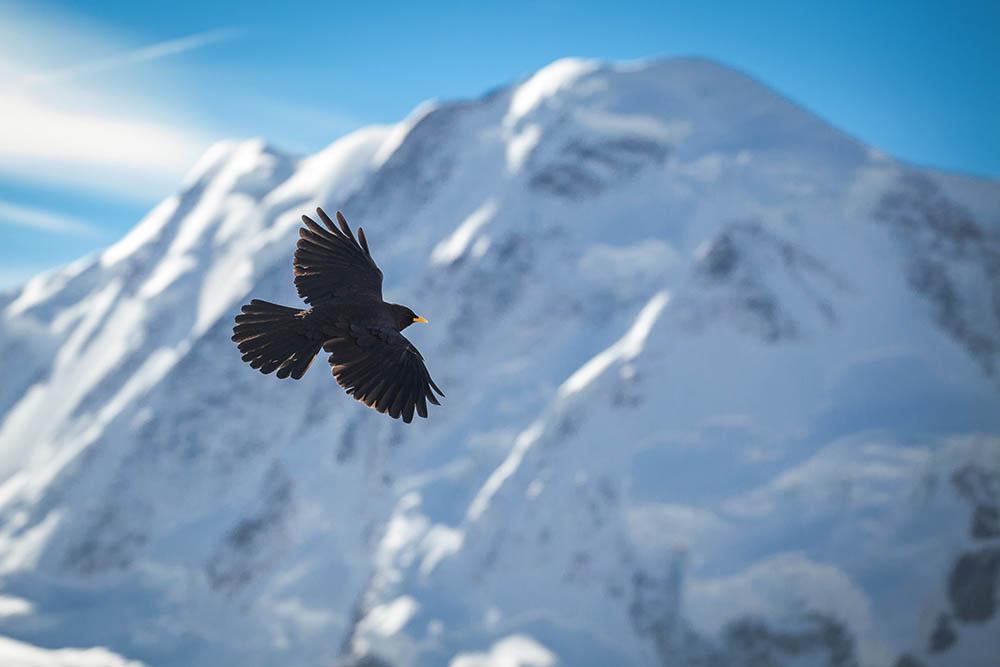 068.1. petrisor adrian. alpine chough (gornergrat, elveția)