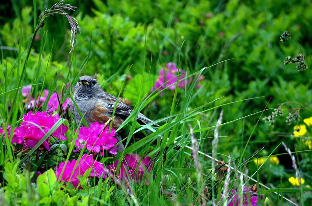 075.2. radescu laura. printre ierburi si flori- brumarita de stanca (muntii fagaras)