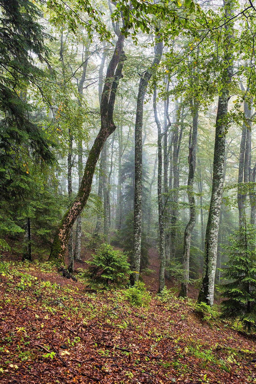 092.1. Badea Andrei. Aburi padure (Pădurea Munticelului, Munții Bucegi)