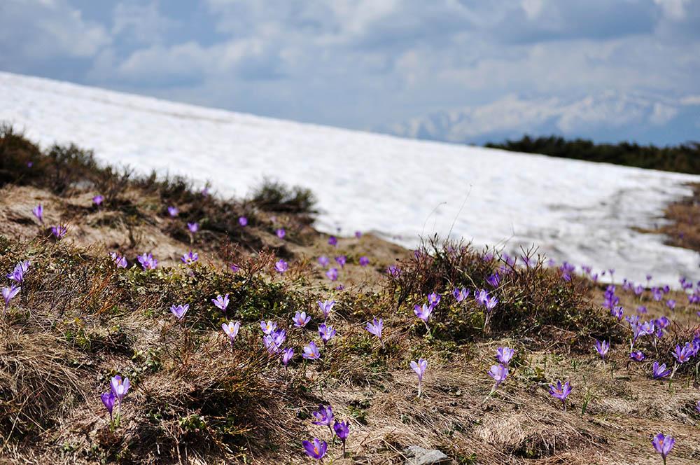 097.1. Isfan Elena Anca. Bucuria florilor (Muntii Valcan)