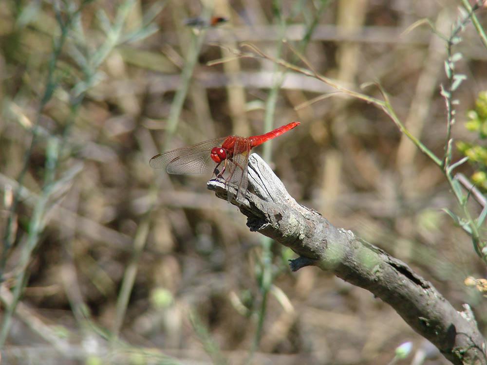 105.3. pulver laurentiu. dragonfly (delta dunarii)