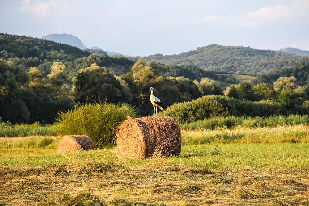 128.2. gligor horia mihai. de veghe în lanul de grâu (Țebea, jud. hunedoara)