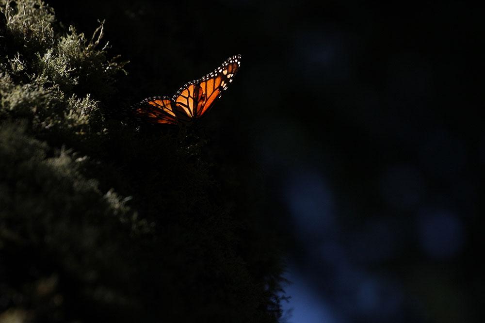 2010 – Fotoreportaj – Premiul 3 – Silviu Petrovan – Fluturi monarh în migrație de iarnă – 2