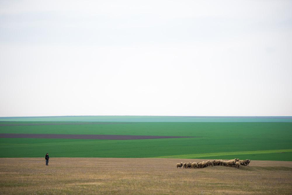 Nenciulescu Mihail. The herd (Satul Valcele, Constanta)