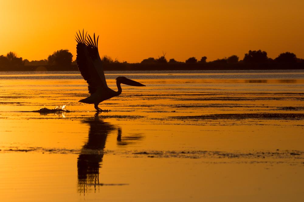 173.1. Boda Cristina. Pelican Delta Dunarii (Delta Dunarii)