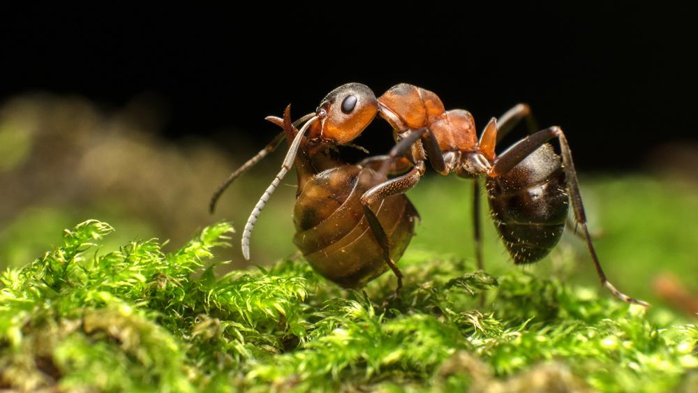 69.2. Kis Szilveszter. Red wood ant (Gradina Csiky, Gheorgheni, Harghita)