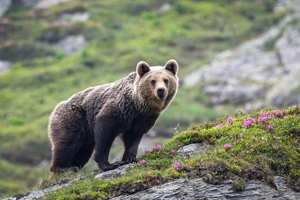 Premiul I. Secțiunea Wildlife. Trifescu Valentin. Printre rhododendroni (Munții Făgșraș)
