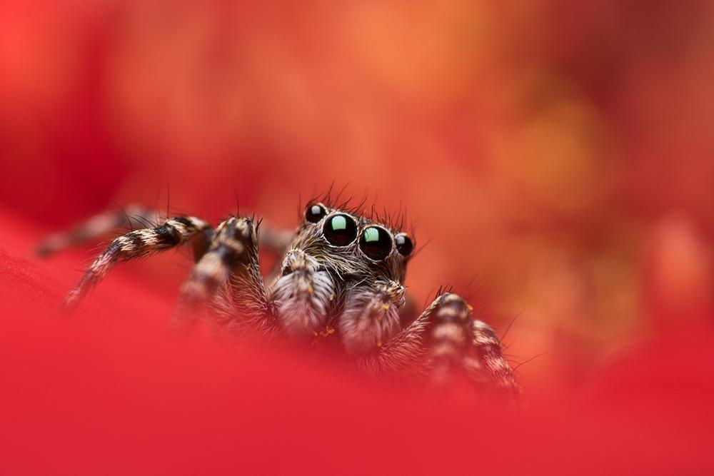 Mențiune. Secțiunea Wildlife. Kis Szilveszter. Jumping spider portrait (Joseni, jud. Hargita)