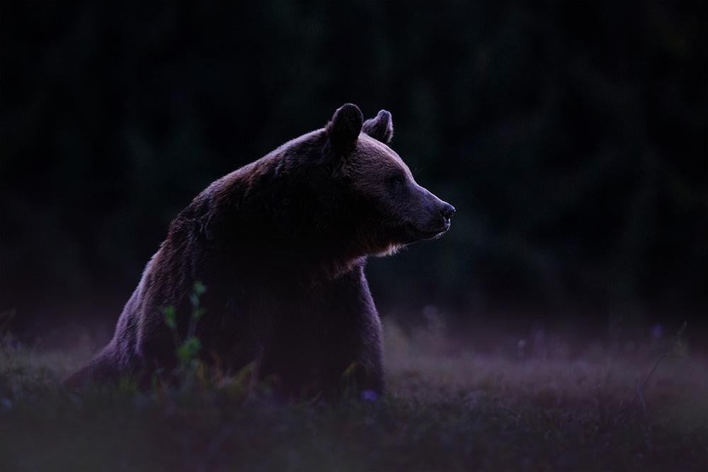 20. Șerban Gabriel. Un urs în amurg (Munții Harghitei)
